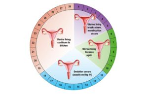 ghana-360-expres-menstrual-cycle-ovulation